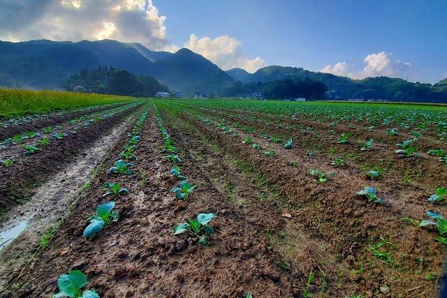 植え付け 定植 熊本県天草市 磯田農園